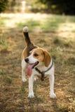 Lycklig beagle med en lång tunga Fotografering för Bildbyråer