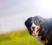 lycklig bergportait för bernese gullig hund royaltyfria bilder