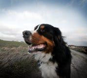 lycklig bergportait för bernese gullig hund Royaltyfri Fotografi