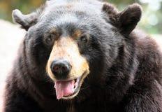 lycklig björn Arkivfoto