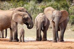 Lycklig dag på fördämningen - afrikanBush elefant Royaltyfri Foto