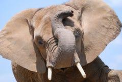 lycklig elefant Royaltyfri Foto