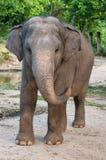 Lycklig elefant Fotografering för Bildbyråer