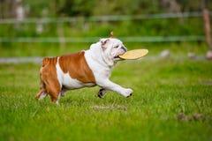 Lycklig engelsk bulldogg med frisbeen Royaltyfri Bild
