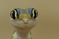 Lycklig gecko Arkivfoto