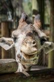 lycklig giraff royaltyfria foton