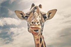 Lycklig giraff som ut klibbar hans tunga royaltyfri fotografi