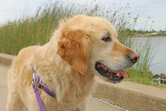 Lycklig golden retrieverhundblick ut över sjön royaltyfri fotografi