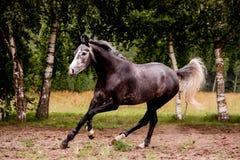 Lycklig grå häst som fritt kör i sommar Arkivfoto