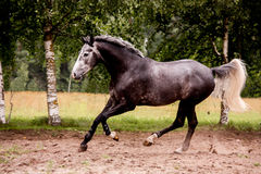 Lycklig grå häst som fritt kör i sommar Arkivbilder