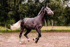 Lycklig grå häst som fritt kör i sommar Royaltyfri Bild
