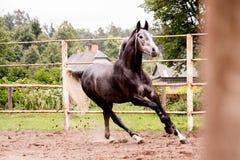Lycklig grå hästspring i paddock i sommar Arkivbilder