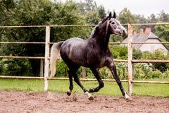 Lycklig grå hästspring i paddock i sommar Arkivfoto