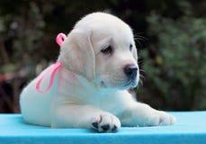 Lycklig gul labrador valpstående på blått Royaltyfria Foton