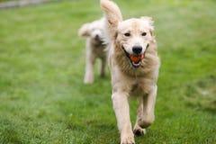 Lycklig guld- Retreiver hund med pudeln som spelar Fetchhundkapplöpninghusdjur arkivfoton