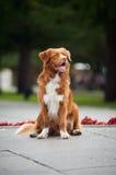 Lycklig guld- retrieverTollerhund Royaltyfri Bild