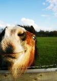 lycklig häst Arkivfoton