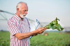 Lycklig hög agronom eller bonde som undersöker den unga sockerbetaväxten i fält royaltyfri bild
