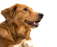 Lycklig hund Arkivfoton