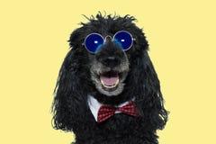 lycklig hund FÖR BLÅTTSPEGEL FÖR ROLIG PUDEL BÄRANDE SOLGLASÖGON EN RÖD BOWTIE ISOLERAD GULINGBAKGRUND FÖR SKOTT AGAINT arkivfoto