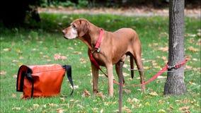 Lycklig hund i Berlin Charlottenburg på September 16, 2016, Tyskland arkivfilmer