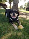 Lycklig hund med en Apple Arkivbilder