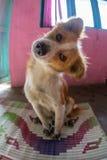 Lycklig hund med tungan ut Arkivfoto