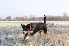 Lycklig hund som kör i ny snö royaltyfri bild