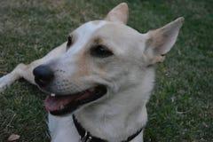 Lycklig hund som kyler vitt gulligt arkivfoton