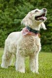 Lycklig hund som ser upp Royaltyfri Foto