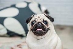 lycklig hund Stående av en mops Nöjt tysta ned lycklig mops Hundleende En hund med hans tunga som ut hänger En hund i lägenheten Arkivbilder