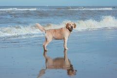 Lycklig hundapportör på havskusten arkivfoto