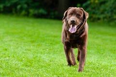 Lycklig hundkörning Royaltyfri Bild