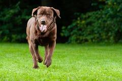 Lycklig hundkörning Fotografering för Bildbyråer