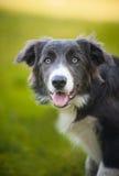 Lycklig hundkantcollie Royaltyfri Foto