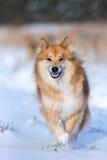 Lycklig hundspring i snön Fotografering för Bildbyråer