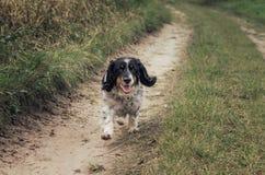 Lycklig hundspring på fältvägen arkivfoton