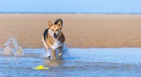 Lycklig hundspring på stranden fotografering för bildbyråer