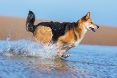 Lycklig hundspring på stranden royaltyfria bilder