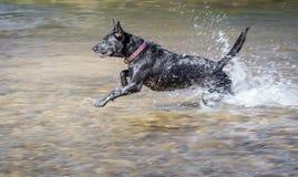 Lycklig hundspring som spelar i floden Royaltyfri Fotografi