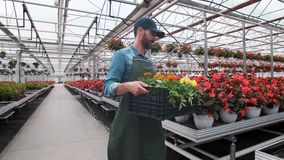 Lycklig industriell växthusarbetare Carry Boxes Full av blommor Le och lycklig man med blommor honom som växer lager videofilmer