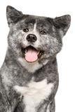 lycklig inu för akita hund Arkivfoton