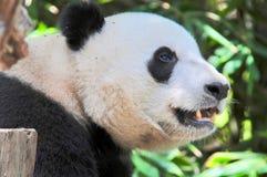 Lycklig jätte- panda som är klar för mellanmål Royaltyfri Bild