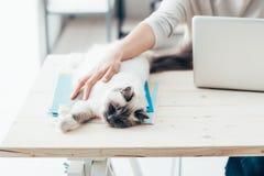 Lycklig katt som kopplar av på ett skrivbord royaltyfria bilder