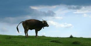 lycklig ko arkivfoton