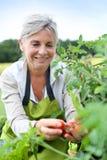 Lycklig kvinna som upp väljer första tomater från trädgård Royaltyfria Foton