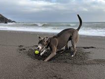 Lycklig le hundframsida som gräver ett burry hål till en boll på stranden som tillbaka ser på kameran royaltyfria bilder