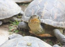 Lycklig le sköldpadda/sköldpadda Arkivfoton