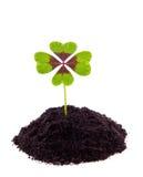 lycklig leaf för växt av släkten Trifolium fyra Arkivbilder