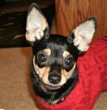 Lycklig liten Chihuahua i röd tröja royaltyfria bilder